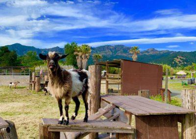 goat01